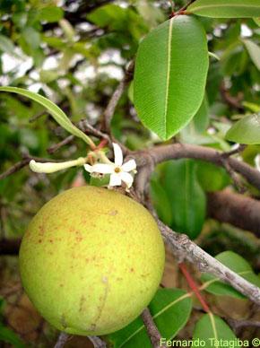 mangaba fruta